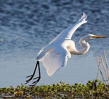 Fly Egret  by byronbackyard