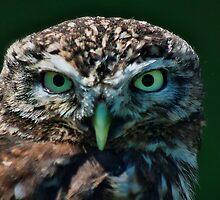 Little Owl by Dave Godden