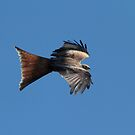 Red Kite (side view) by SWEEPER
