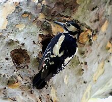Great Spotted Woodpecker by larry flewers