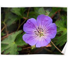 Perennial Geranium Flower Poster