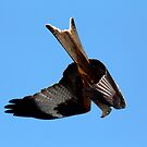 Red Kite stooping by SWEEPER