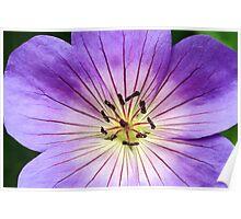 Perennial Geranium Flower Macro Poster