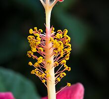 Hibiscus Stigma Close Up by Kenneth Keifer