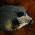 Smooth Trunkfish by KSBailey
