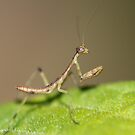 tiny tiny praying mantis small as a gnat by katpartridge