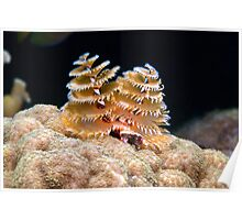 Atlantic Christmas Tree Worm Poster