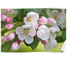 Crabapple Blossoms Poster