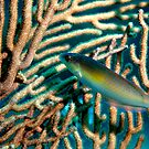 Rainbow Wrasse by KSBailey