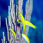 Canary Wrasse by KSBailey