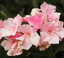 Pink Blossoms by George Lenz