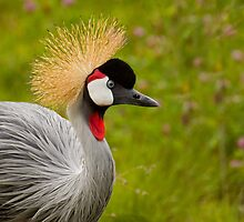 Gray Crowned Crane by Jeff Weymier