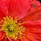 Vivacious poppy by Celeste Mookherjee