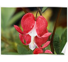 Red Bleeding Heart Flowers Poster