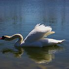Swimming Swan in a Lake by ROBERTDBROZEK