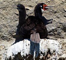 Nesting Shags by geophotographic