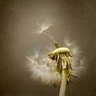 Dandelion by Ian Barber