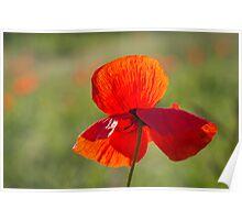 Poppy Butterfly Poster