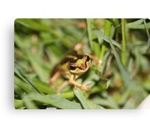 Southern Brown Tree Frog Canvas Print