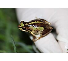 Southern Brown Tree Frog Photographic Print