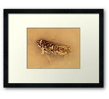 Common Froglet in amplexus Framed Print