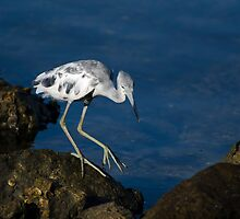 Young Little Blue Heron by tfhammar