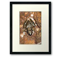 Broad-palmed Rocket Frog Framed Print
