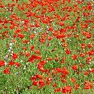 Poppy Field by KUJO-Photo