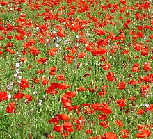 Poppy Field by KUJO-Photo