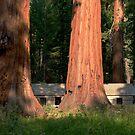 Giant Sequoias, Yosemite, California by KUJO-Photo