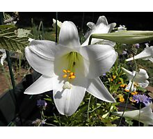 Easter Lilly In Garden Photographic Print
