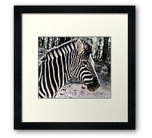 Zebra at the Zoo Framed Print