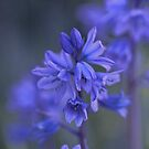Bluebell Haze by Ray Clarke