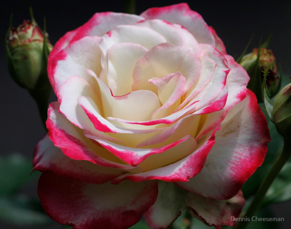 Rose, dedicated this to Paw Paw, since he needs some help here by Dennis Cheeseman