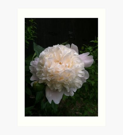 First peony this summer Art Print