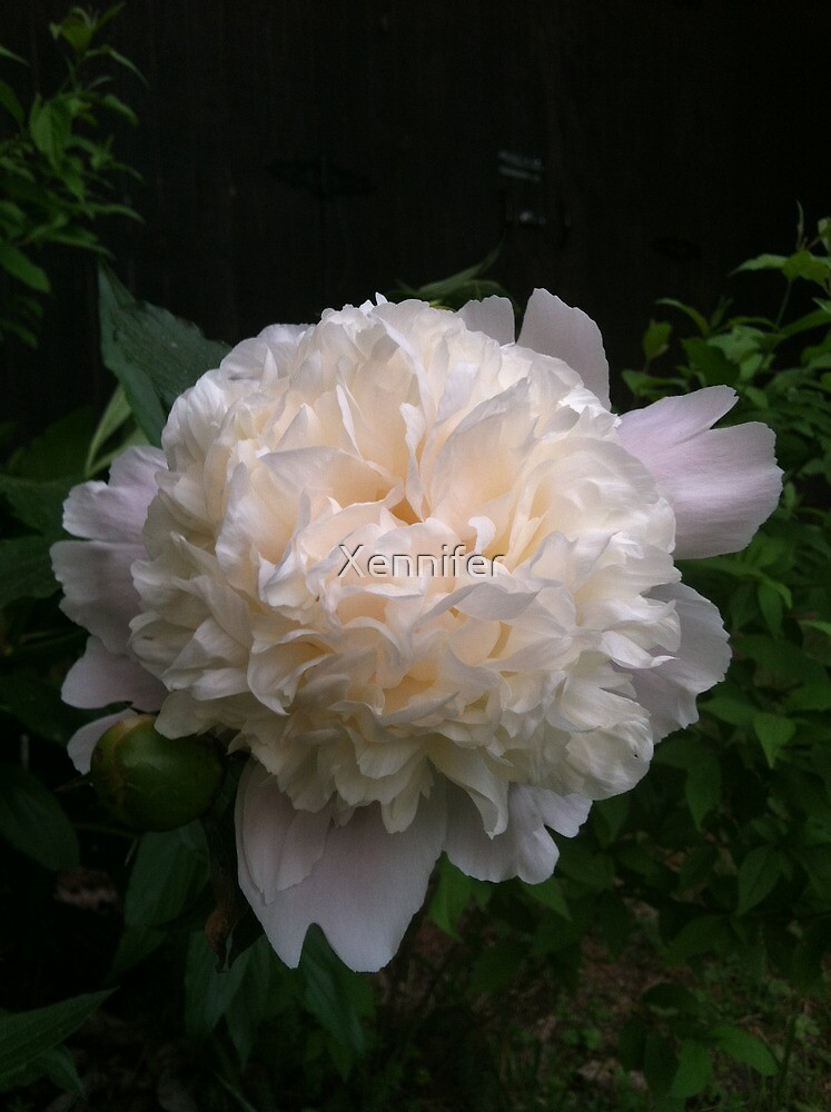 First peony this summer by Xennifer
