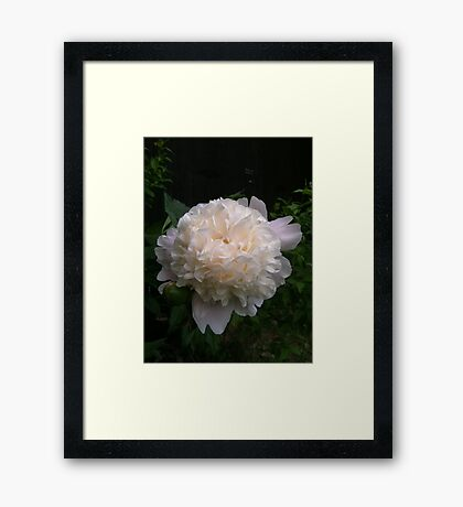 First peony this summer Framed Print