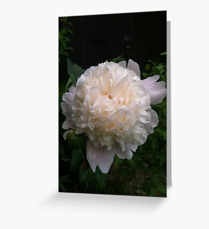 First peony this summer Greeting Card