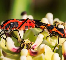 Two bugs on a flower by Colin Bester