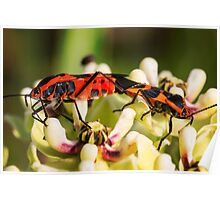 Two bugs on a flower Poster