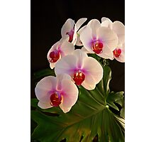 ***DELICATE GRACE ~ ORCHID PHALAENOPSIS*** Photographic Print