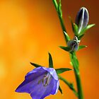 Balloon Flower  by karina5