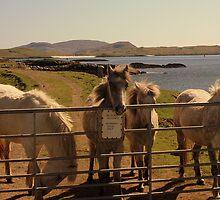 Barra Horses by Duncan  Wilson