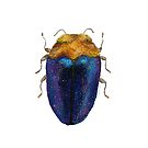 Trachys - Jewel Beetle by Glendon Mellow