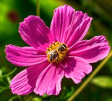 Cosmos and the Bee by Mark Richards