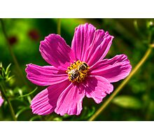 Cosmos and the Bee Photographic Print