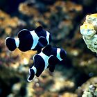 Black and White Clown Fish by Paul Dean