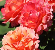 Roses - Apricot Delight by Sally Haldane
