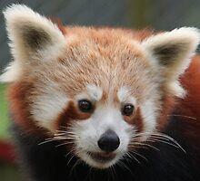 Mogo Zoo - Red Panda Portrait by Sally Haldane