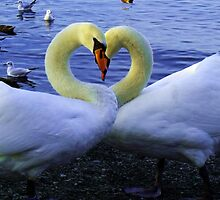 Lake District Swans in Heart pose by Chris Pilcher